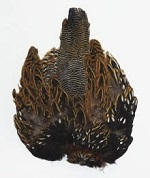 BlackFrancolin